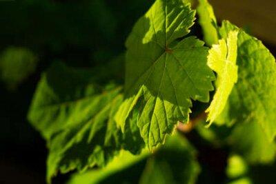 Obraz green wine leaves in detail