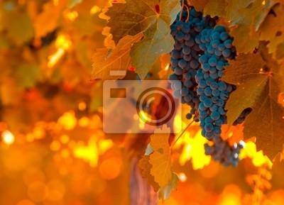 grono winogron, bardzo płytkie fokus