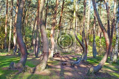 Grove dziwnie ukształtowane sosny w Krzywy Las, Polska.