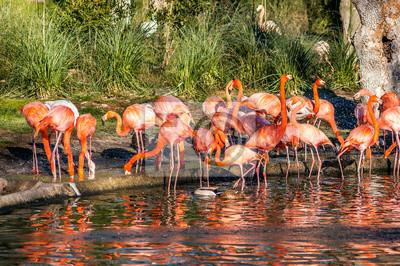 Grupa czerwonych i różowych flamingów w stawie z wodą