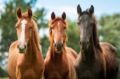 Obraz Grupa trzech młodych koni na pastwisku