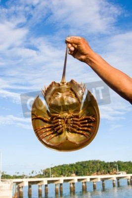 Hand holding horseshoe crabs in blue sky background