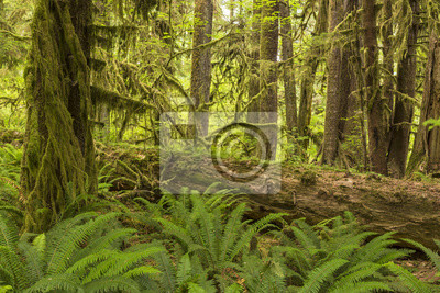 Hoh Rainforest Paprocie i dziennika