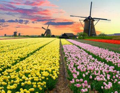Obraz Holenderski wiatrak na polu tulipanów