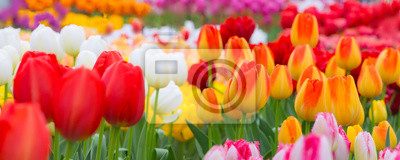 Obraz Holiday or birthday panoramic background with tulip flowerbed, red, yellow, white, flower garden