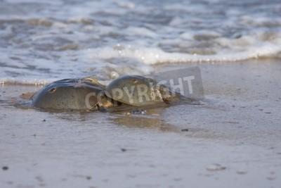 Horseshoe Kraby krycia na plaży z fal oceanu w tle