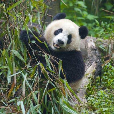 Obraz Hungry giant panda bear jedzenia bambusa