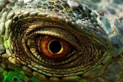 Obraz iguana oko