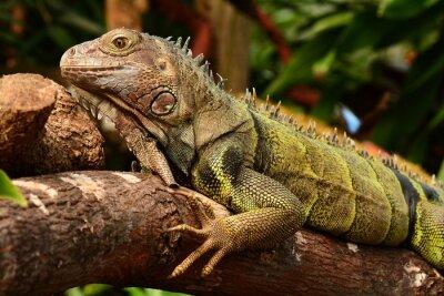 Obraz Iguana portret