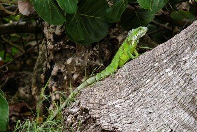 Obraz Iguane sur un tronc d'arbre.