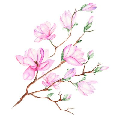 Obraz Illustration with magnolia branch with pink flowers painted in watercolor on a white background