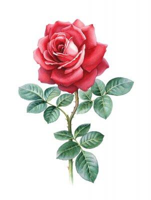 Obraz Ilustracja akwarela kwiat róży