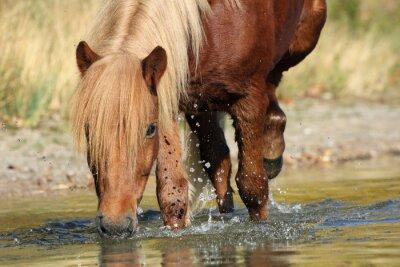 Obraz Islandia Kucyk w wodzie