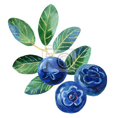 Jagody z liśćmi, ilustracji akwarela