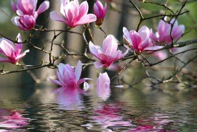 Obraz Japońska Magnolia