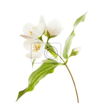 jasmin kwiaty na białym tle