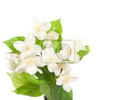 Jasmine kwiat samodzielnie na białym tle