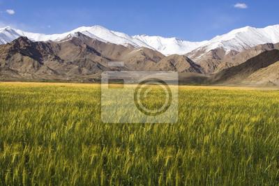 Obraz Jęczmień pole przed śniegiem górach