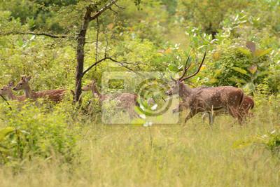 Jeleń w Parku Narodowego Uda Walawe, Sri Lanka. Azja.