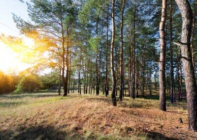 Obraz Jesień w lesie sosnowym