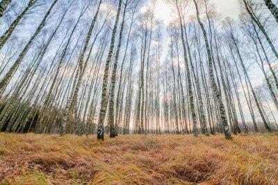 Obraz Jesienny las, białe Brzozy i żółty suszone trawy, niski kąt widzenia