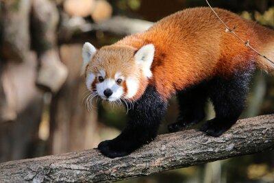 Obraz joli Minois de panda