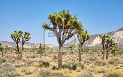 Joshua Trees (Yucca brevifolia) in the Joshua Tree National Park, California, USA.