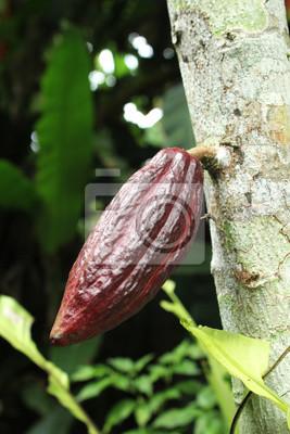 Kakao na drzewie w Bali