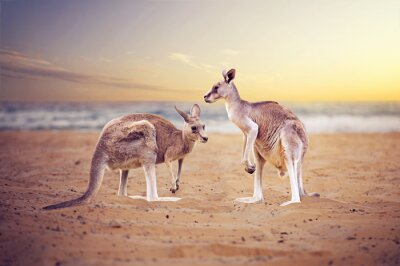 Obraz Kangury