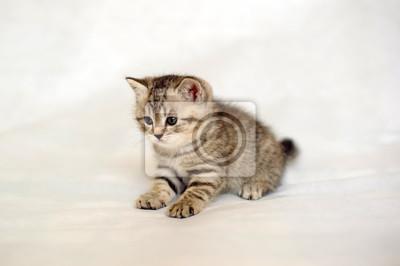 Obraz Kitten Pręgowane Umaszczenie Paski Dziecko Brytyjski