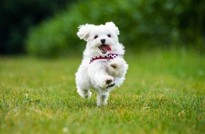 Obraz Kleiner Malteser Hund spring über eine Wiese