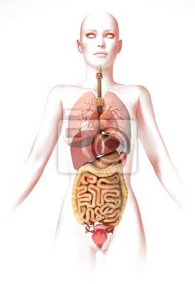 0715c8c9cbe052 Obraz Kobieta ciało, z wewnętrznych organów. Obraz anatomii, stylizowany  wygląd.