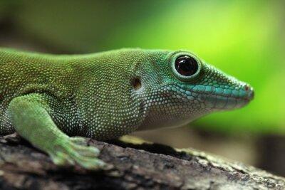 Obraz Koch's giant day gecko (Phelsuma madagascariensis kochi).