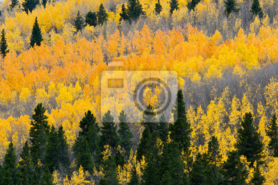 Kolorowa jesień Aspen Las