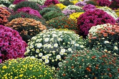 kolorowe chryzantemy