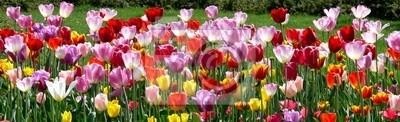 Obraz Kolorowe tulipany