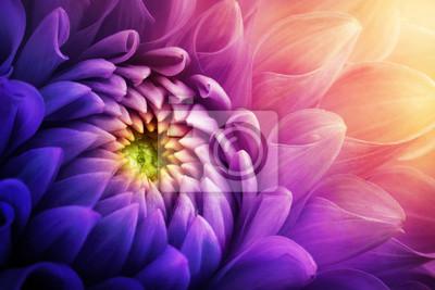 Obraz Kolorowy chryzantema kwiatu makro- strzał. Chryzantema żółty, czerwony, fioletowy kolor kwiat tła.