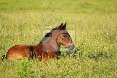 koń brązowy źrebię leżącego na pastwisku