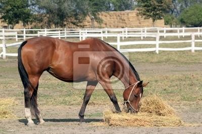 Koń jedzenia siana
