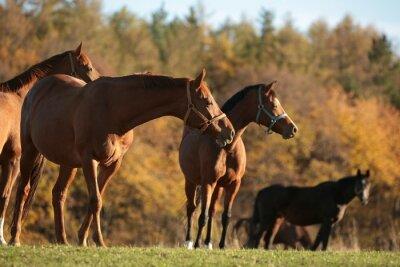 Obraz Konie na pastwisku. Listopada, Polska