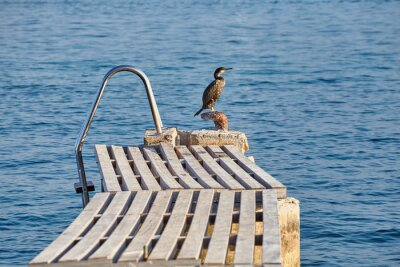 Kormoran na starym pływackim molu, Mallorca, Hiszpania.