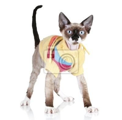 Obraz Kot Rasy Devon Rex W Sweter Na Wymiar Czarny Młody