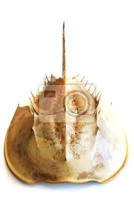 Krab Atlantic podkowy