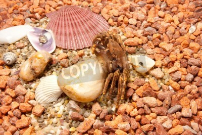 Krab morza. Cockleshells morskie, kraby na tle morza Kamyczki