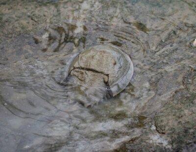 Kraba podkowy (Limulus polyphemus)