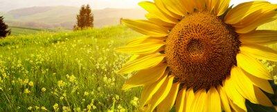 Obraz krajobraz z słoneczniki w Toskanii, Włochy