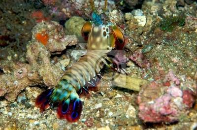 Krewetka Mantis