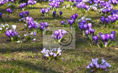 Krokusy w parku, krajobraz wiosna.