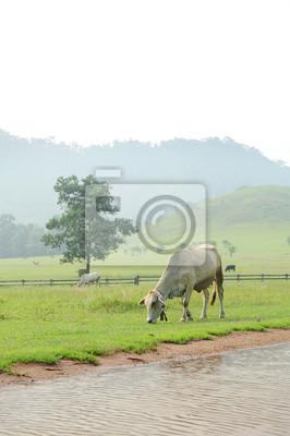 Krowy w zielona trawa górskich (pora deszczowa) w Ranong, południowej Tajlandii.