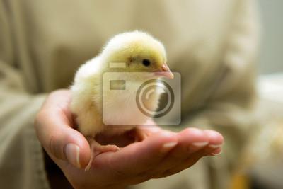 Obraz Kurczak. Tuczarnia